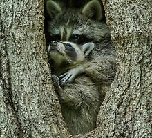Raccoon Hug by Bill McMullen