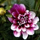 Dahlia by SuddenJim
