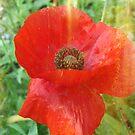 Red Poppy by angelandspot
