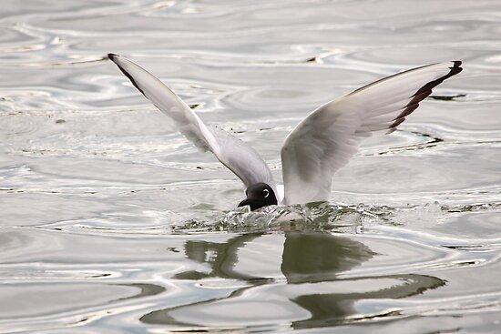 Arctic Tern Landing on the Kenai River by Robert Kelch, M.D.