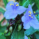 Spiderwort Twins by Ron Russell