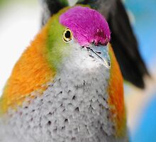 Superb Fruit Dove by Barnaby Murphy
