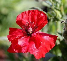 red poppy winnemucca by DonActon