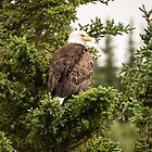 Watchful Bald Eagle on the Kenai River by Robert Kelch, M.D.