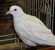 Little White Dove 1 by Maree  Clarkson