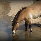 Przewalski's Wild Horse (Critically Endangered) by Kimberly Chadwick
