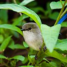 A quiet break for a male Blue Wren by Adrian Kent