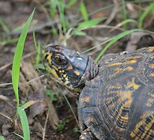 Eastern Box turtle by msegall