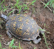 Nesting Box Turtle by msegall