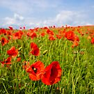 Red Poppies by mlphoto