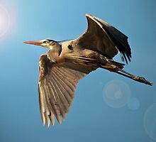 Great Blue Heron by Marvin Collins