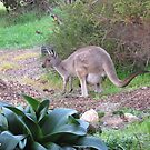 'Sweet Floe & her new Joey, Winter 2013, Adelaide Hills. S.A. by Rita Blom