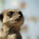 Meerkat by Kimberly Chadwick