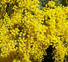 Wattle by elvines