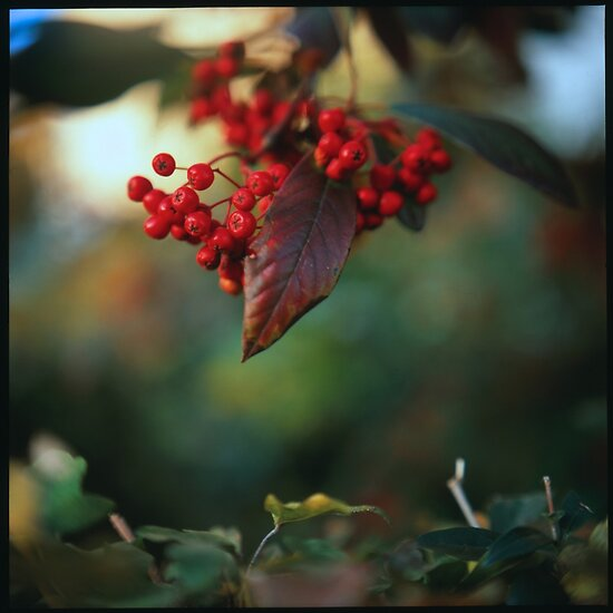 Red berries II by Urban Hafner