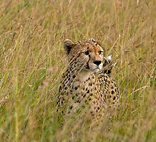 Cheetah in high grass 1 by Valerija S.  Vlasov