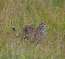 Cheetah in high grass 2 by Valerija S.  Vlasov