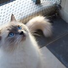 Male Ragdoll in the Sun by abbei