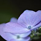 Pearl of Lavender by Tracy Friesen