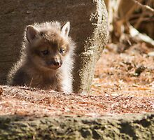 Baby Fox by MIRCEA COSTINA