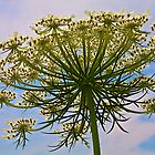 Queen Ann's Lace by John Butler