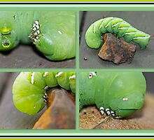 Tobacco Hornworm - Manduca sexta - Six Spotted Hawkmoth by MotherNature