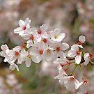 Cherry Blossoms Abound by Patty (Boyte) Van Hoff