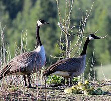 Canada geese family by JeanC38