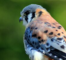 American Kestrel by Chris Coates
