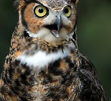 Great Horned Owl by Chris Coates