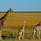 Grazing Giraffe by Karl Kruger