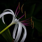 Hilton Head Island Lily by KSKphotography