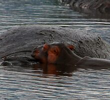 Snooze time ( Hippopotamus amphibius ) Mother and new born Ngorongoro Crater Tanzania by john  Lenagan