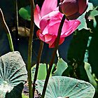 Lovely Lotus by Julie Sleeman