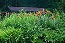 Turk's Cap Lilies - Lilium superbum L. by MotherNature
