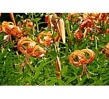 Turk's Cap Lilies - Lilium superbum L. - Nodding Beauties Photographic Print