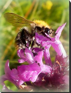 Wild Bumblebee  by ©The Creative  Minds