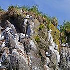 Kittywakes nesting, Katmai, Alaska, USA by Margaret  Hyde