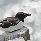 Razorbill by Margaret S Sweeny