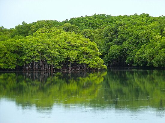 Mangrove Reflections by globeboater