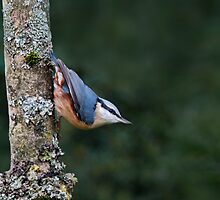 Nuthatch by FranWalding