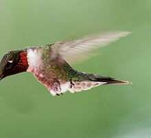 Male Ruby Throated Hummingbird ~ Please read description by barnsis