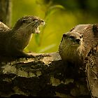Oriental short clawed otter by Wayman