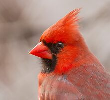 Cardinal Portrait by MIRCEA COSTINA
