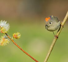 Ruby-crowned Kinglet by MIRCEA COSTINA