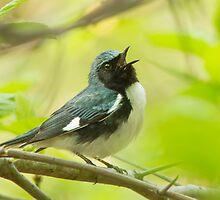 Singing Warbler by MIRCEA COSTINA