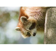 Raccoon portrait Photographic Print