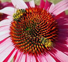 Honey Bees Macro on Echinacea Flower of Summer by Amy McDaniel