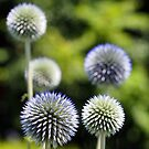Globe Thistle Group by Linda  Makiej