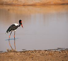 Saddle-Billed Stork by Clive S